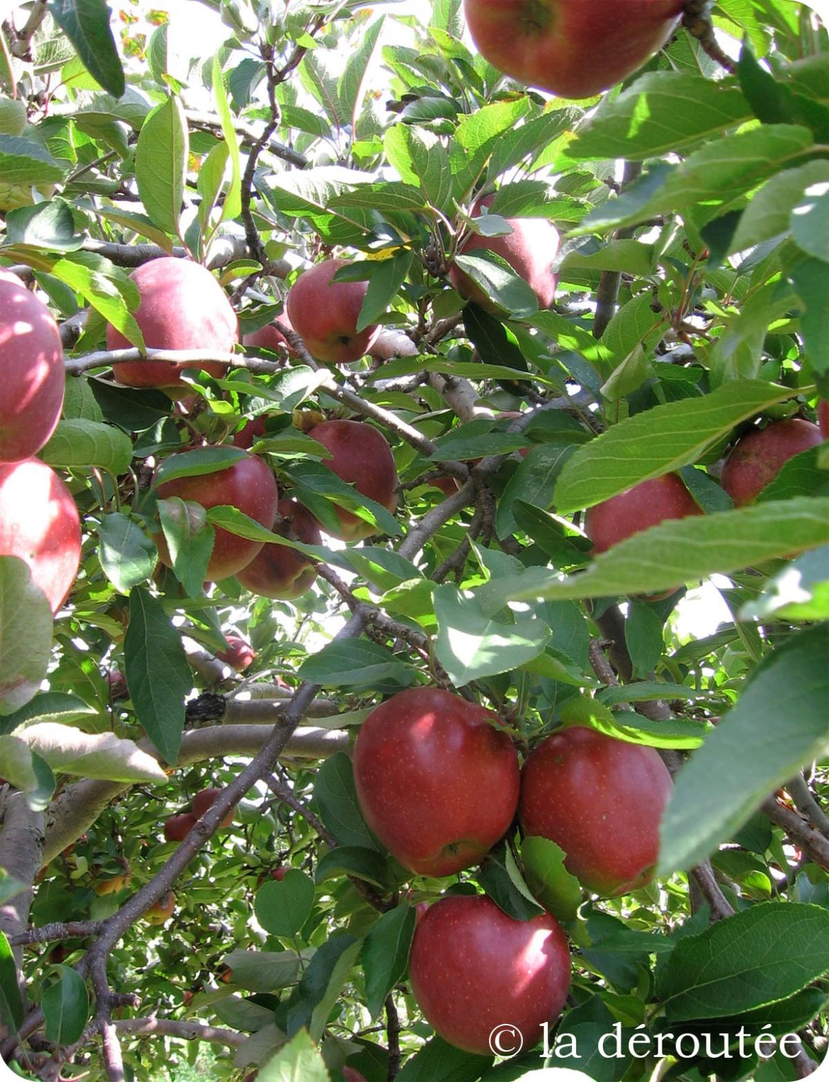 Pommes et automne