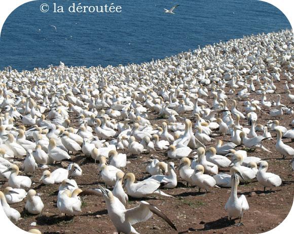 Merveilleuse Île Bonaventure(Gaspésie)