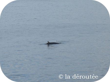 De la difficulté de photographier une baleine (Gaspésie)…